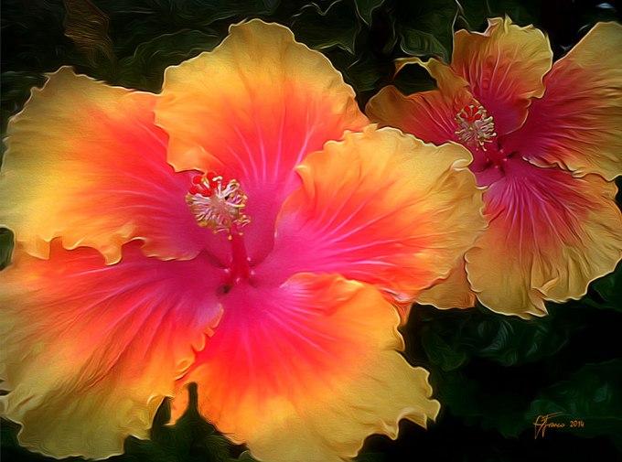 hibiscus-B-web
